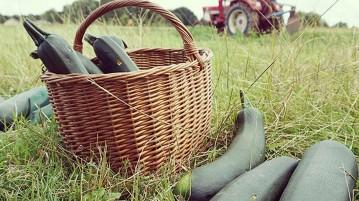 Solidarische Landwirtschaft Zucchini